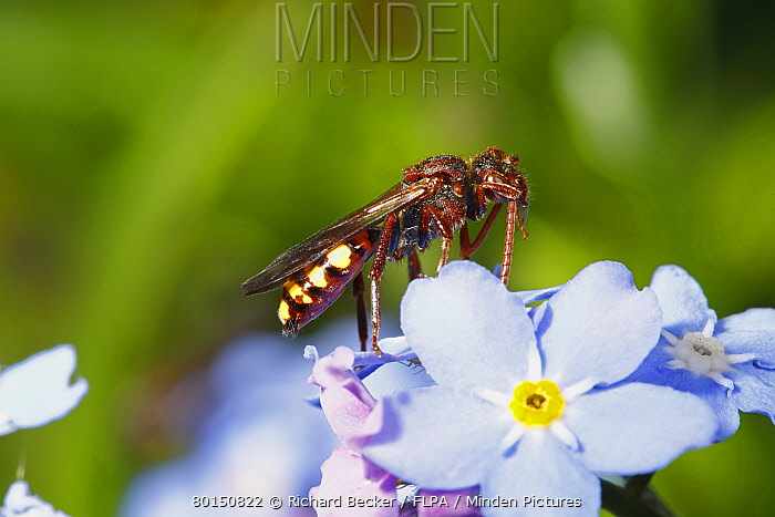 Nomad Bee (Nomada panzeri) adult female, cleaning antenna, resting on flower, Powys, Wales, May  -  Richard Becker/ FLPA
