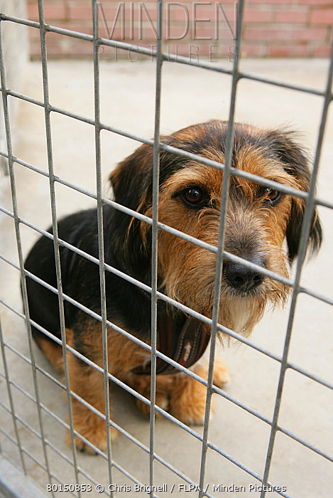 Domestic Dog, adult, sitting behind bars at rescue centre, England, July  -  Chris Brignell/ FLPA