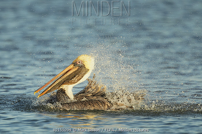 Brown Pelican (Pelecanus occidentalis) adult, non-breeding plumage, bathing, splashing water, Florida, U.S.A., February  -  Mark Sisson/ FLPA