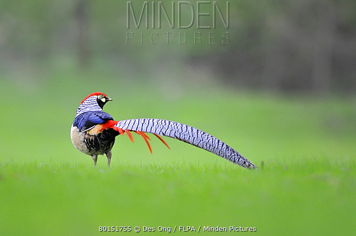 Lady Amherst's Pheasant (Chrysolophus amherstiae) introduced species, adult male, standing in field, Norfolk, England, April  -  Des Ong/ FLPA