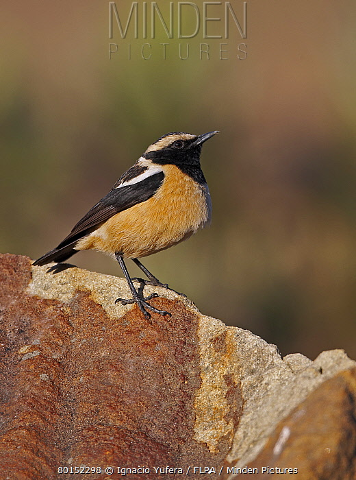 Buff-streaked Chat (Oenanthe bifasciata) adult male, standing on rock, Sani