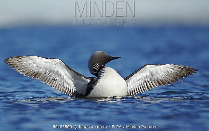 Pacific Diver (Gavia pacifica) adult, breeding plumage, flapping wings on water, Nunavut, Canada, July  -  Ignacio Yufera/ FLPA