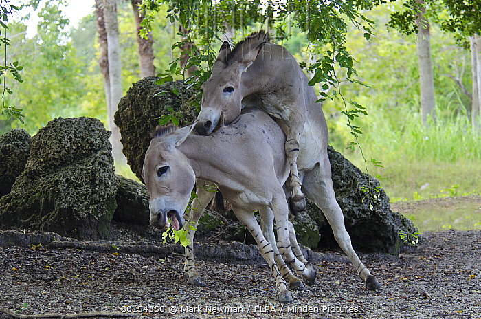 Indian wild Asses mating! - YouTube