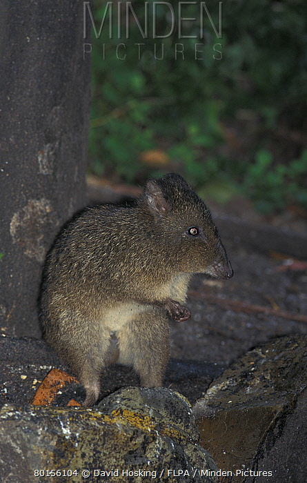 Long-nosed Potoroo (Potorous tridactylus) Tasmania, Australia  -  David Hosking/ FLPA