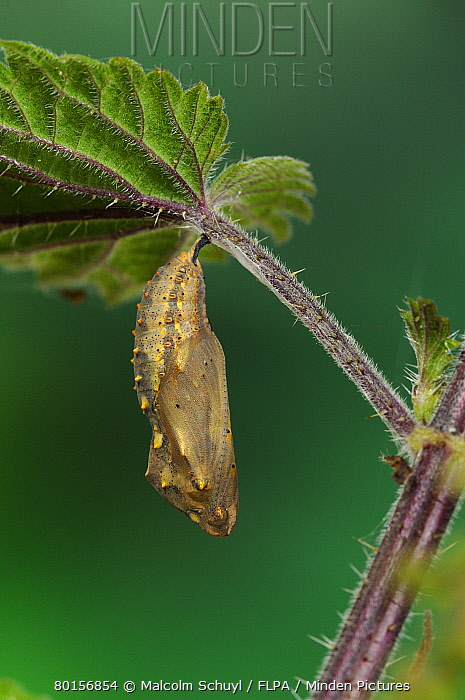 Painted Lady (Vanessa cardui) pupa, hanging from stinging nettle leaf, Oxfordshire, England, July  -  Malcolm Schuyl/ FLPA