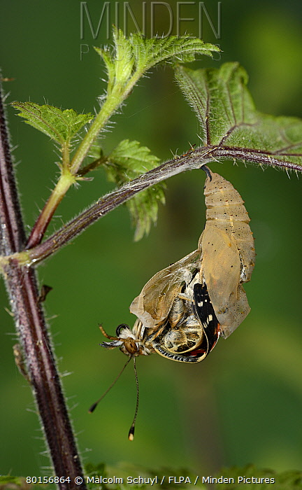 Painted Lady (Vanessa cardui) adult, emerging from pupa, hanging from stinging nettle leaf, Oxfordshire, England, July  -  Malcolm Schuyl/ FLPA