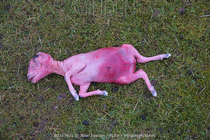 Domestic Sheep, aborted lamb foetus, in pasture, Lancashire, England, March  -  John Eveson/ FLPA