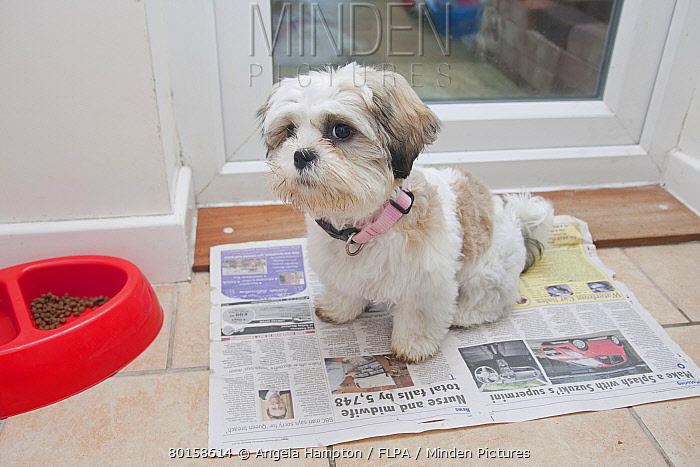Domestic Dog Shih Tzu Puppy Toilet Training On Newspaper Beside Door England