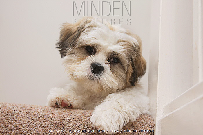 Domestic Dog, Shih Tzu, puppy, laying on carpet at top of staircase, England, October  -  Angela Hampton/ FLPA