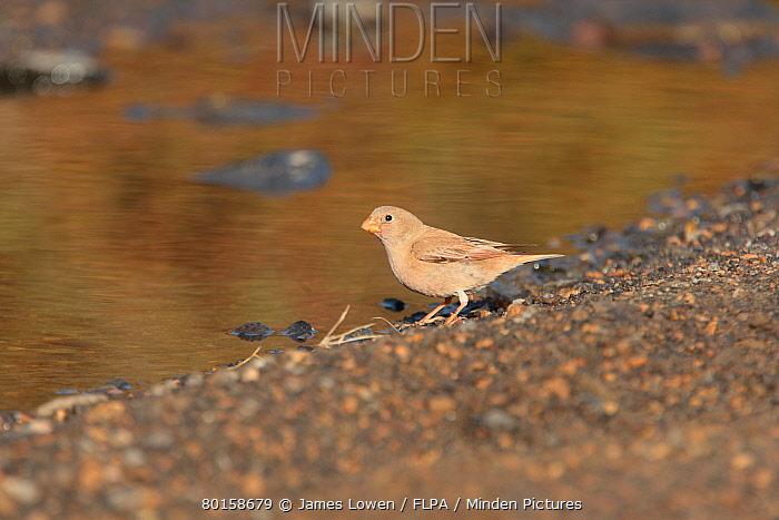 Trumpeter Finch (Bucanetes githagineus) adult female, drinking, Tindaya, Fuerteventura, Canary Islands, March  -  James Lowen/ FLPA