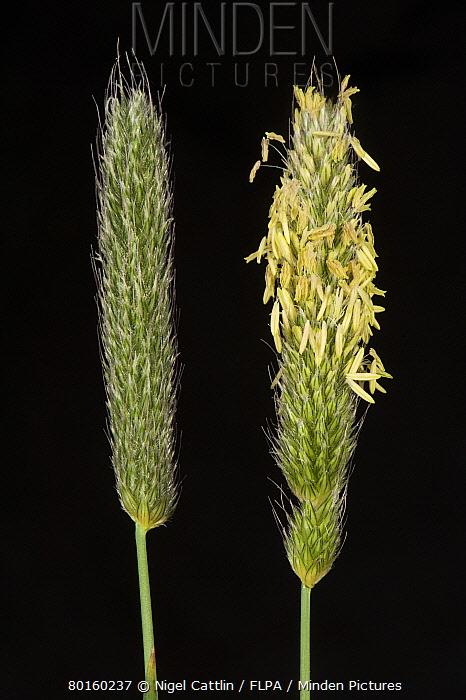 Flowering heads of timothy grass, Phleum pratense  -  Nigel Cattlin/ FLPA