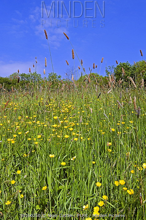 Flowering field buttercups, Ranunculus acris, a yellow carpet in green grass meadow on a bright spring day with trees and a blue sky  -  Nigel Cattlin/ FLPA