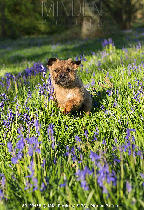 Domestic Dog, Border Terrier, adult, running in Bluebell (Endymion non-scriptus) flowering mass in deciduous woodland, Blickling, Norfolk, England, May  -  Mike Powles/ FLPA