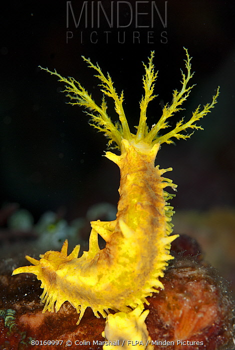 Yellow Sea Cucumber (Colochirus robustus) adult, with feeding tentacles extended, Lembeh Straits, Sulawesi, Sunda Islands, Indonesia, July  -  Colin Marshall/ FLPA