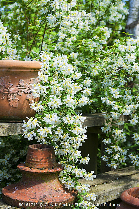 Mock-orange (Philadelphus sp) 'Belle Etoile', flowering, growing beside terracota pots in garden, Norfolk, England, July  -  Gary K Smith/ FLPA