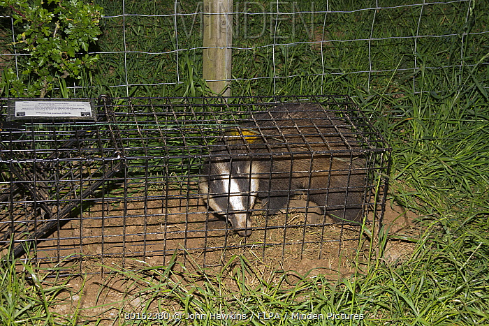 Eurasian Badger (Meles meles) bovine tuberculosis vaccination scheme, badger in live trap clipped and sprayed after being vaccinated, Shropshire, England, June  -  John Hawkins/ FLPA