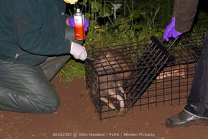 Eurasian Badger (Meles meles) bovine tuberculosis vaccination scheme, badger in live trap being clipped and sprayed by Wildlife Trust personnel to mark it after being vaccinated, Shropshire, England, June  -  John Hawkins/ FLPA