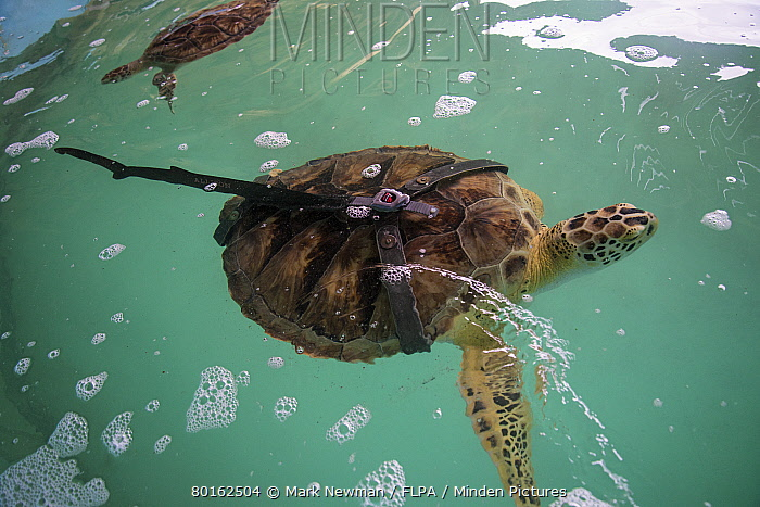 Green Turtle (Chelonia mydas) 'Allison', adult female, with missing flippers, fitted with prosthesis, Sea Turtle Rescue Center, South Padre Island, Texas, U.S.A., March  -  Mark Newman/ FLPA