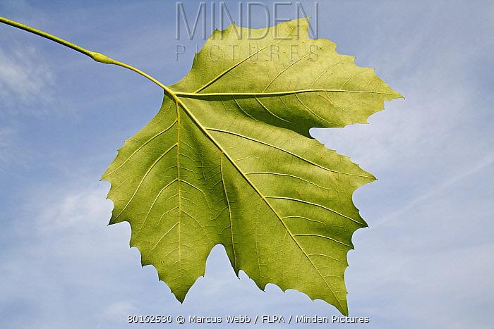 London Plane (Platanus x hispanica) close-up of leaf underside, in garden, Suffolk, England, August  -  Marcus Webb/ FLPA