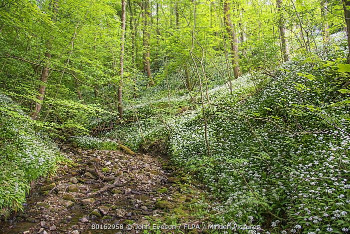 Ramsons (Allium ursinum) flowering mass, growing beside stream in woodland habitat, Porter Wood, Whitewell, Forest of Bowland, Lancashire, England, June  -  John Eveson/ FLPA