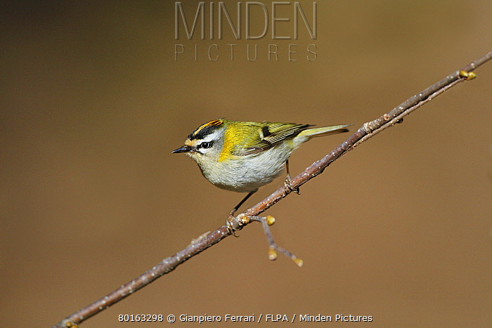 Firecrest (Regulus ignicapillus) adult male, perched on twig, Cannobina Valley, Italian Alps, Piedmont, Northern Italy, March  -  Gianpiero Ferrari/ FLPA