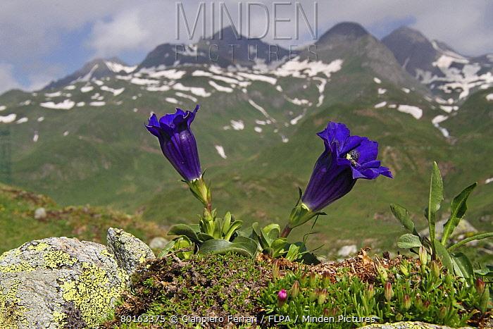 Trumpet Gentian (Gentiana acaulis) flowering, growing in mountain habitat, Italian Alps, Italy, July  -  Gianpiero Ferrari/ FLPA