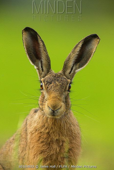 European Hare (Lepus europaeus) adult, close-up of head, alert in farmland, Norfolk, England, July  -  Jamie Hall/ FLPA