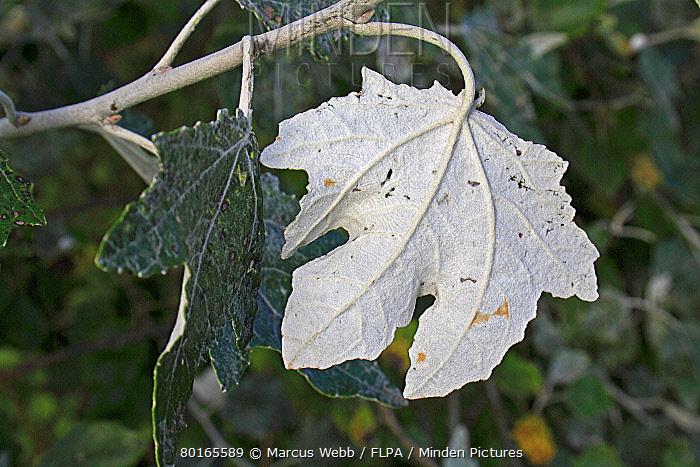 White Poplar (Populus alba) close-up of leaf underside, growing in hedgerow, Mendlesham, Suffolk, England, September  -  Marcus Webb/ FLPA