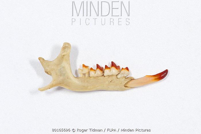 Eurasian Water Shrew (Neomys fodiens) jaw  -  Roger Tidman/ FLPA