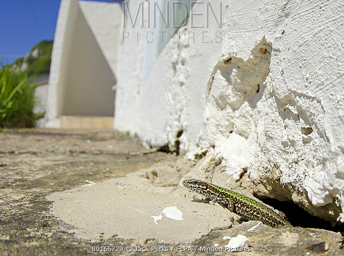 Italian Wall Lizard (Podarcis sicula) introduced species, adult, emerging from hole in building, Folkestone, Kent, England, May  -  Jack Perks/ FLPA