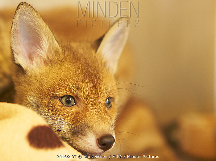European Red Fox (Vulpes vulpes) cub, close-up of head, at rescue centre prior to re-introduction to wild, The Fox Project, Kent, England, April  -  Mark Sisson/ FLPA
