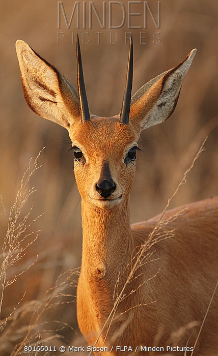 Steenbok (Raphicerus campestris) adult male, close-up of head and neck, in evening sunlight, Kalahari, South Africa, August  -  Mark Sisson/ FLPA
