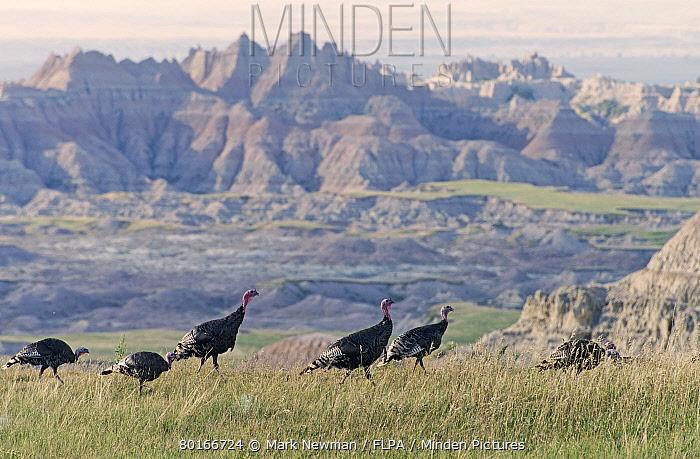Merriam's Wild Turkey (Meleagris gallopavo merriami) adult males and females, flock walking in badlands habitat, Badlands National Park, South Dakota, U.S.A., August  -  Mark Newman/ FLPA