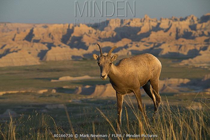 Bighorn Sheep (Ovis canadensis canadensis) adult female, walking on grass in badlands habitat, Badlands National Park, South Dakota, U.S.A., August  -  Mark Newman/ FLPA