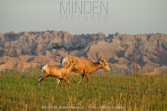 Bighorn Sheep (Ovis canadensis canadensis) adult female and young, walking on grass in prairie habitat, Badlands National Park, South Dakota, U.S.A., August  -  Mark Newman/ FLPA