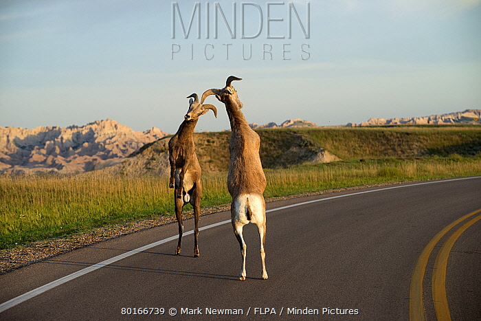 Bighorn Sheep (Ovis canadensis canadensis) two immature males, fighting on road in prairie habitat, Badlands National Park, South Dakota, U.S.A., August  -  Mark Newman/ FLPA