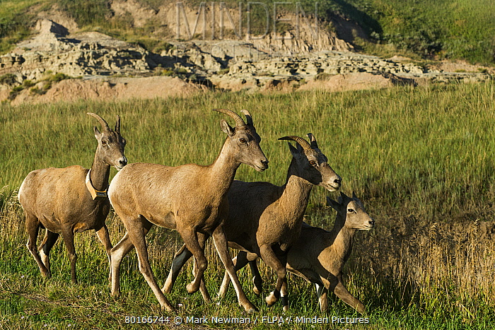 Bighorn Sheep (Ovis canadensis canadensis) adult females and young, one with radio tracking collar, running in prairie, Badlands National Park, South Dakota, U.S.A., August  -  Mark Newman/ FLPA