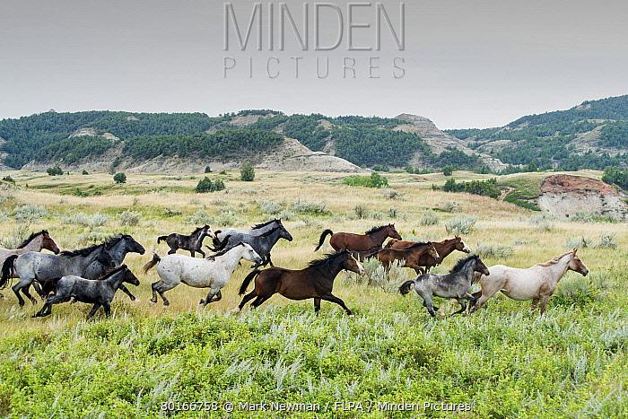 Horse, Mustang, mares and foals, herd galloping on badlands prairie habitat, Theodore Roosevelt National Park, North Dakota, U.S.A., September  -  Mark Newman/ FLPA