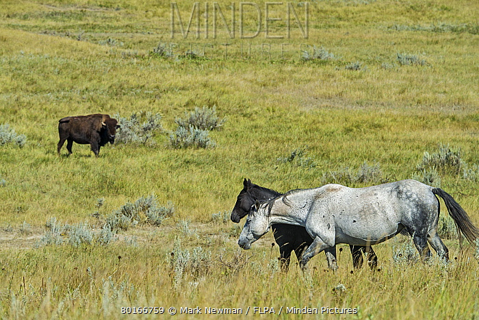 Horse, Mustang, mare and foal, walking on badlands prairie habitat, with North American Bison (Bison bison) adult, in background, Theodore Roosevelt National Park, North Dakota, U.S.A., September  -  Mark Newman/ FLPA