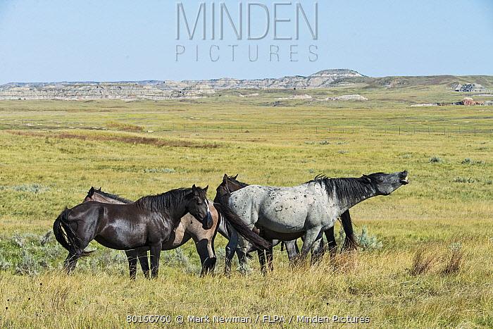 Horse, Mustang, stallion, in flehmen, standing with mares on badlands prairie habitat, Theodore Roosevelt National Park, North Dakota, U.S.A., September  -  Mark Newman/ FLPA