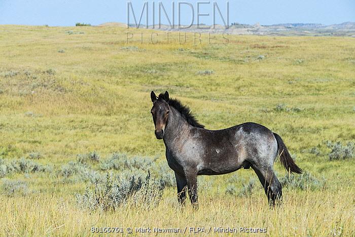 Horse, Mustang, colt, standing in grass on badlands prairie habitat, Theodore Roosevelt National Park, North Dakota, U.S.A., September  -  Mark Newman/ FLPA