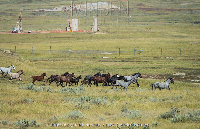 Horse, Mustang, mares and foals, herd galloping on badlands prairie habitat, with 'Nodding Donkey' pump in fenced off oil well, Theodore Roosevelt National Park, North Dakota, U.S.A., September  -  Mark Newman/ FLPA