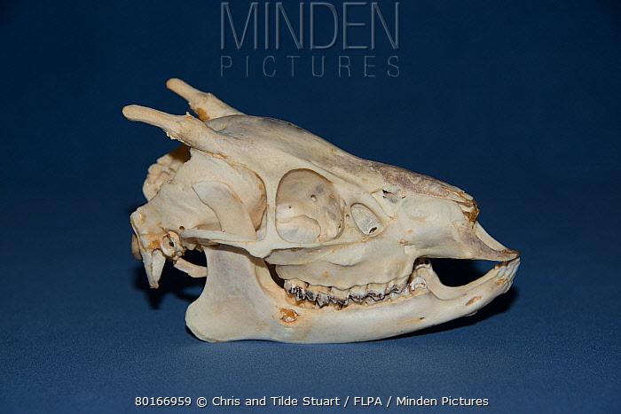 Southern Pudu (Pudu puda) skull, adult male  -  Chris & Tilde Stuart/ FLPA