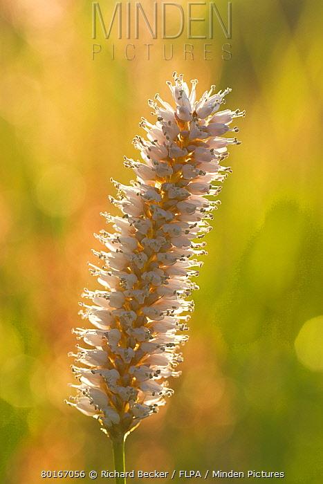 Common Bistort (Polygonum bistorta) close-up of flowerspike, Pembrokeshire, Wales, June  -  Richard Becker/ FLPA