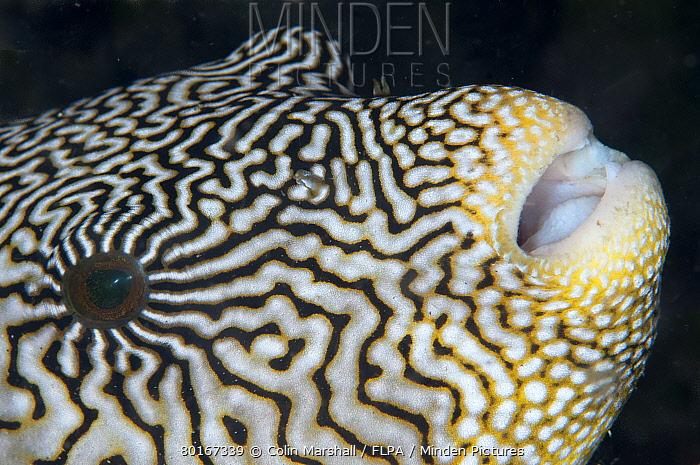 Map Pufferfish (Arothron mappa) adult, close-up of head, Lembeh Straits, Sulawesi, Sunda Islands, Indonesia, September  -  Colin Marshall/ FLPA