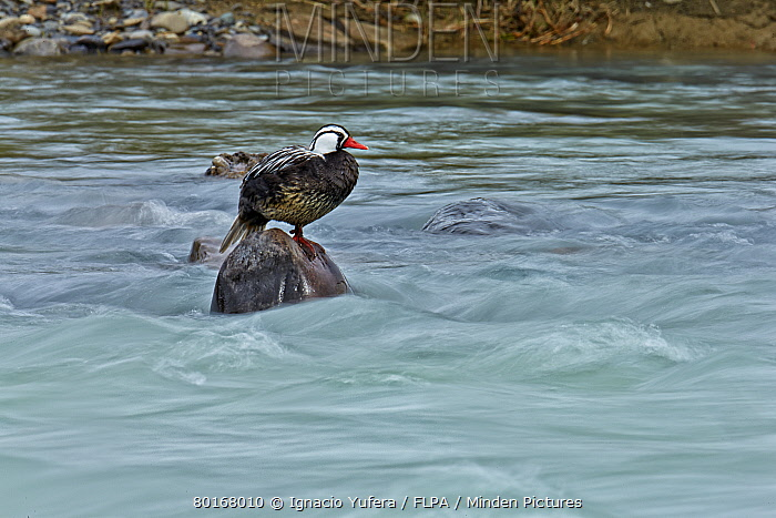 Torrent Duck (Merganetta armata) adult male, standing on rock in river, Torres del Paine National Park, Southern Patagonia, Chile, November  -  Ignacio Yufera/ FLPA
