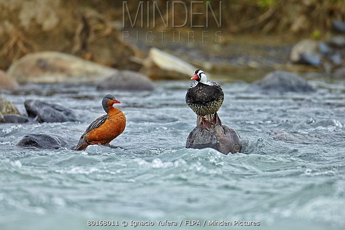 Torrent Duck (Merganetta armata) adult pair, standing on rocks in river, Torres del Paine National Park, Southern Patagonia, Chile, November  -  Ignacio Yufera/ FLPA