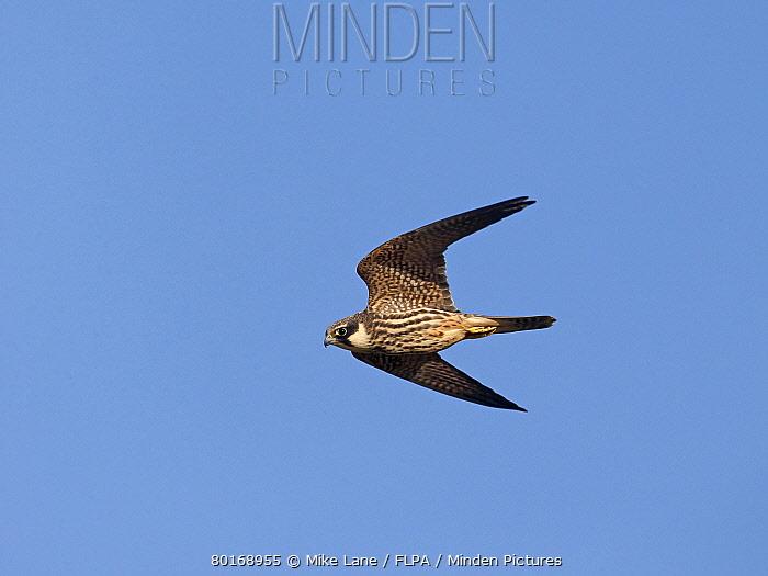 Eurasian Hobby (Falco subbuteo) juvenile, in flight, Warwickshire, England, September  -  Mike Lane/ FLPA