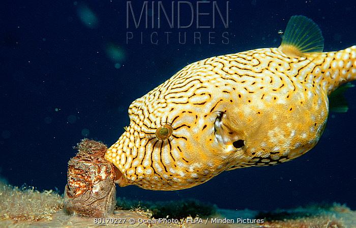Eating Map puffer (Arothron mappa)  -  OceanPhoto/ FLPA