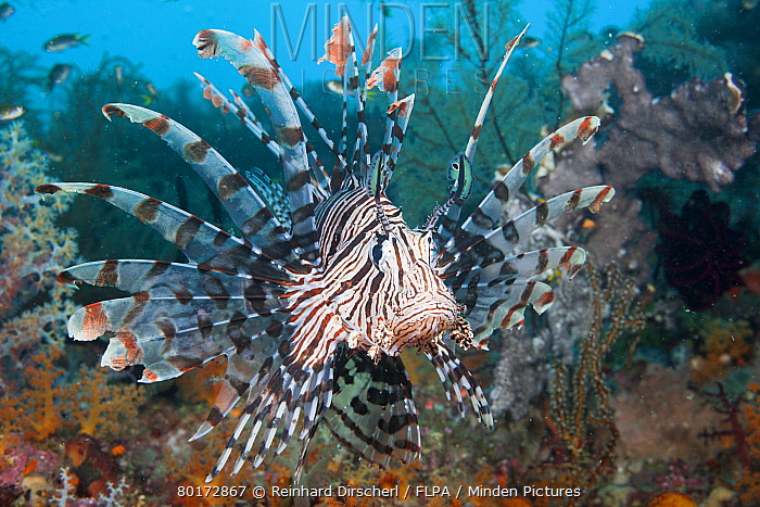 Lionfish, Pterois volitans, Raja Ampat, West Papua, Indonesia  -  Reinhard Dirscherl/ FLPA